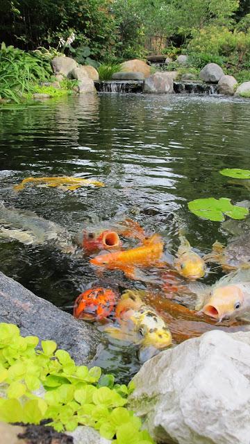 koi in backyard pond