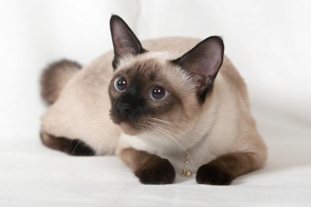 Siamese cat adalah kucing paling mahal di dunia