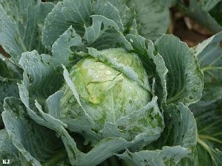 Manfaat sayuran Kol
