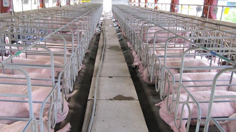 Ngành chăn nuôi lợn: Bức tranh 10 năm tới?