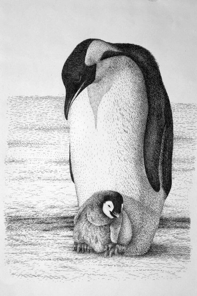 09-Penguins-Rens-Ink-Animal-Wildlife-Pen-and-Ink-Stippling-Drawings