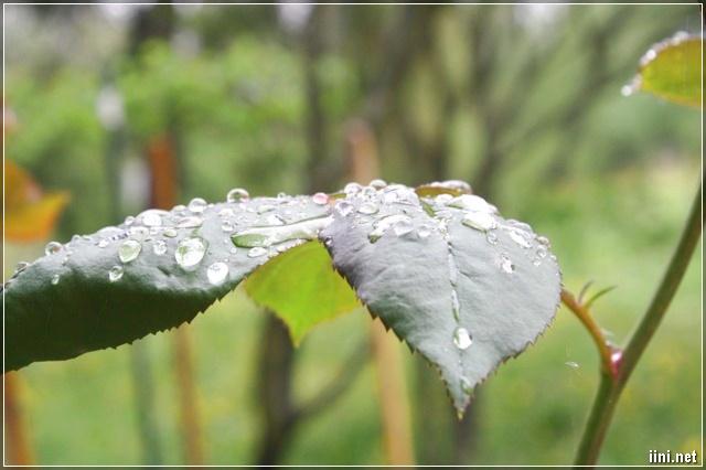 giọt mưa còn đọng lại trên lá
