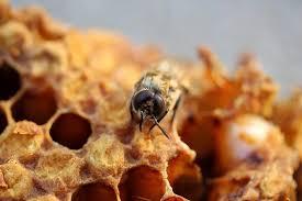 menyembuhkan sariawan dengan madu