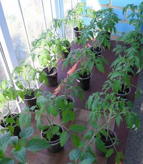 Рассада помидоров в начале мая