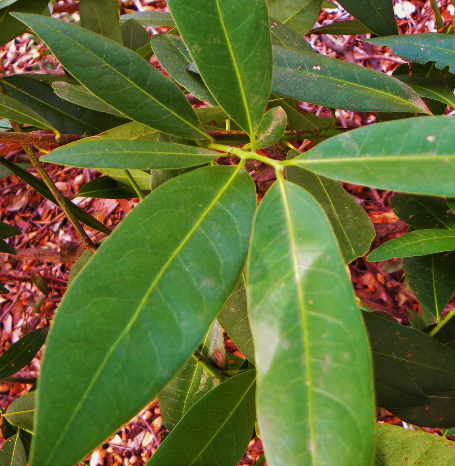 California Bay Laurel
