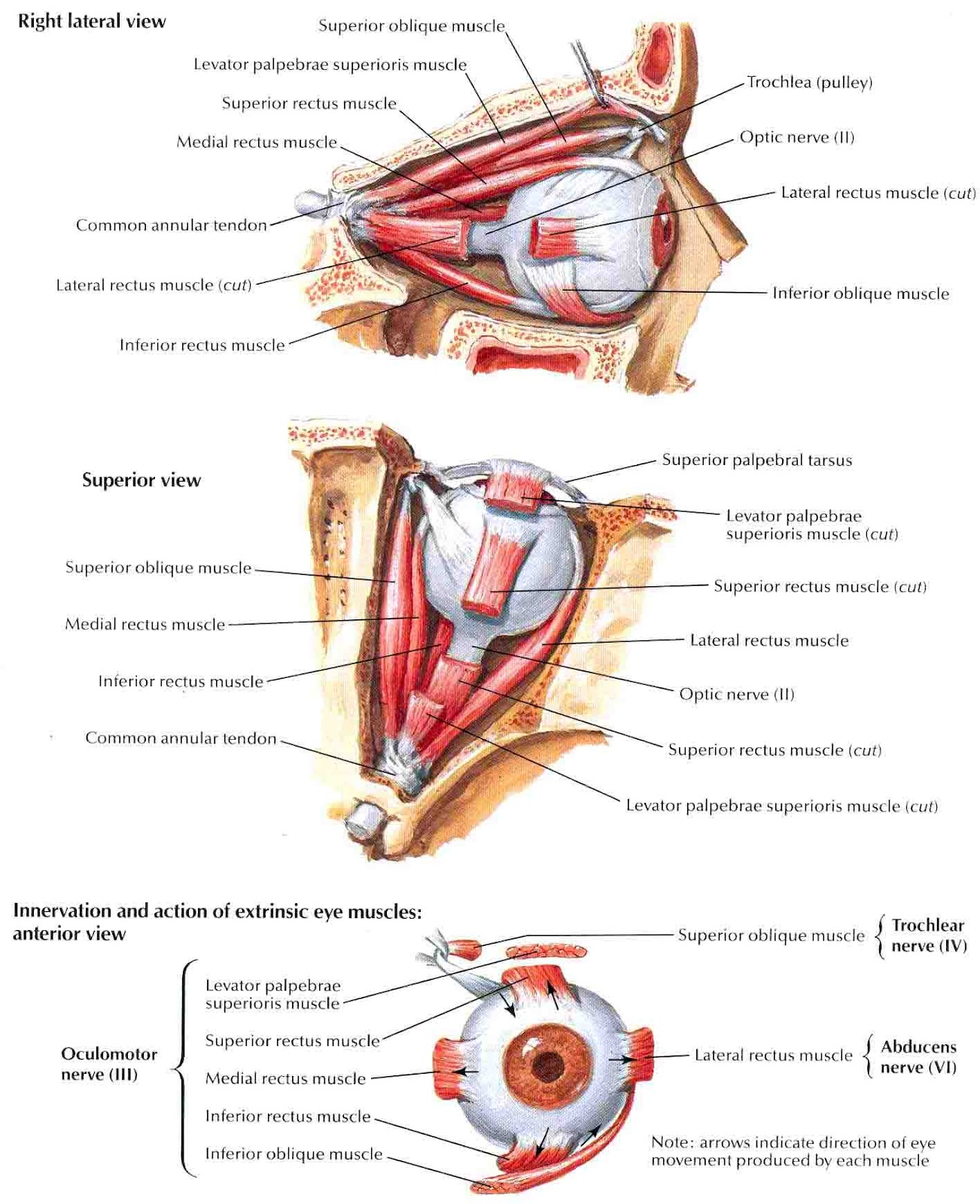 Diagram Of The Left Eye Hopkins 7 Way Wiring Muscles
