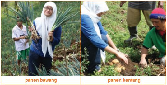 Pemanenan - panen bawang panen kentang - Tahapan-Tahapan Budi Daya Tanaman Sayuran dan Contohnya