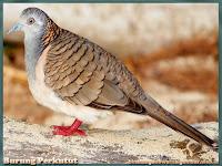 gambar burung perkutut
