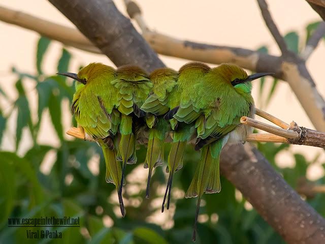 Merops orientalis