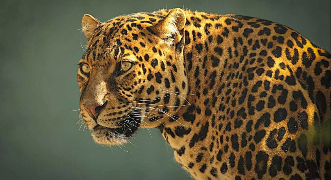 Foto de un jaguar