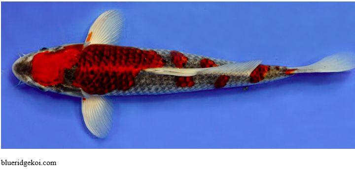 Gambar Ikan Koi Goshiki