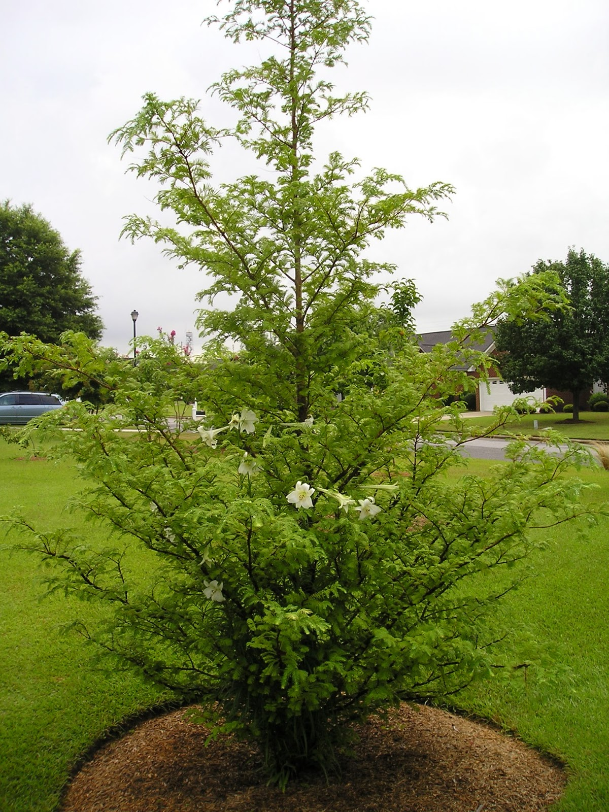 Carol S Garden: Carol's Greenville NC Garden: Blooming Dawn Redwood?