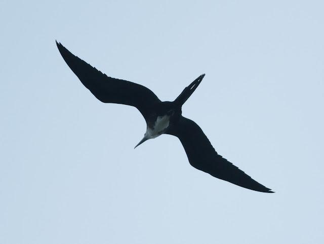 Magnificent Frigatebird - Dry Tortugas, Florida