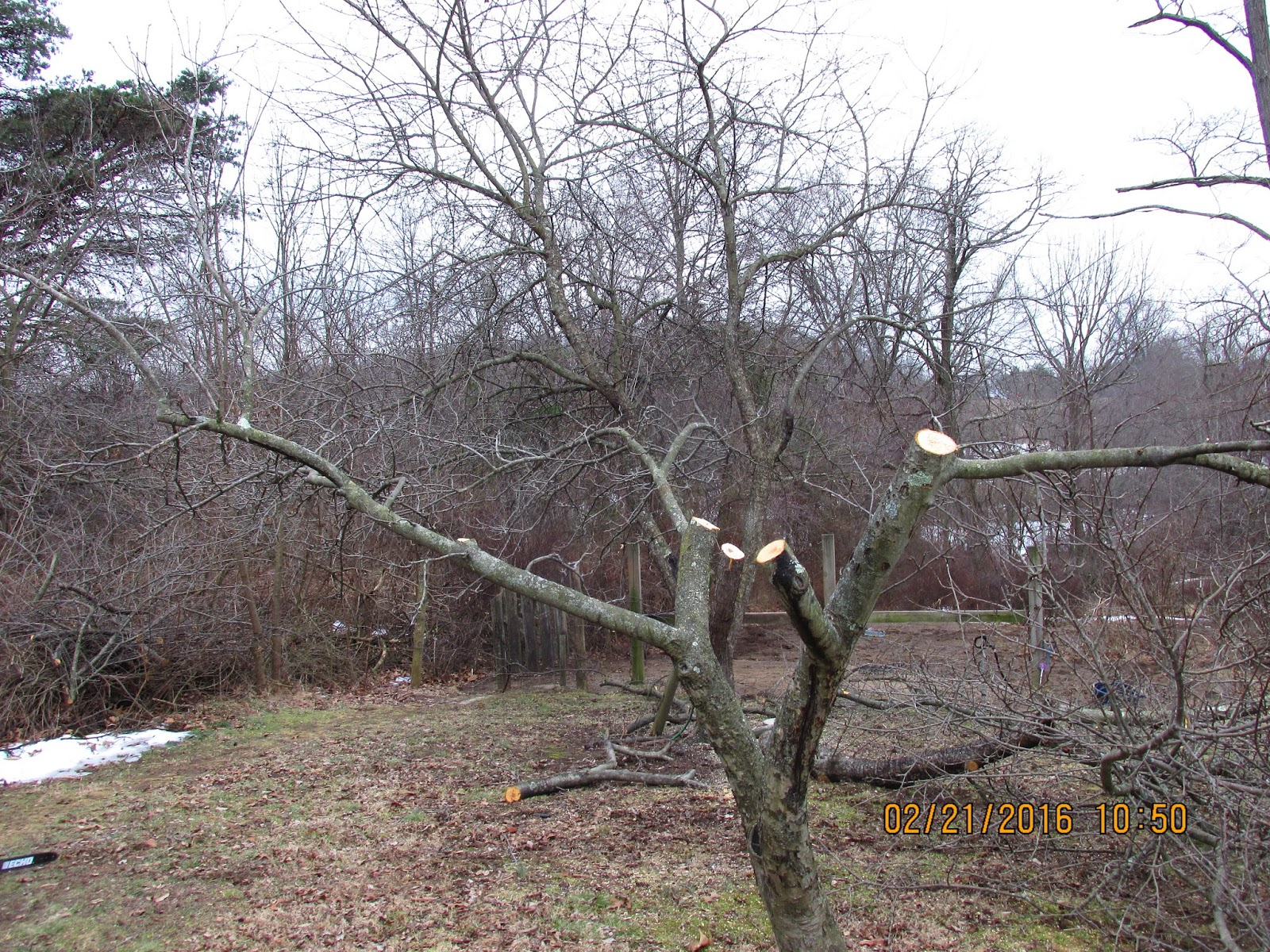 Allegheny mountain wanderings more pruning pics - Spring trimming orchard trees healthy ...