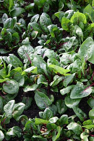 Auch Feldsalat und Spinat wirken als Gründüngung