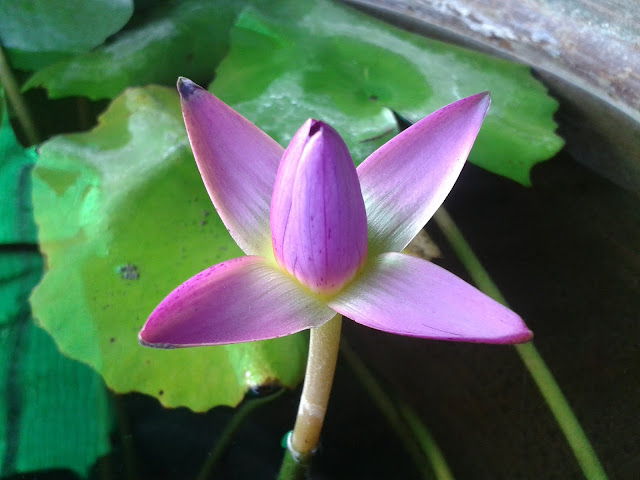 Lotus flower images