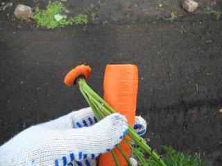 Обрезка моркови