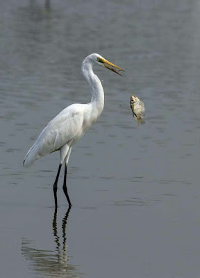 stork-eating-hunting-its-fav-food-fish