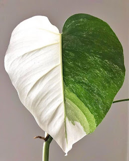 Wariegacja liści. Najpiękniejsze rośliny z białymi plamami.