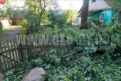 Деревня Щомыслица. Дерево упало на подворье