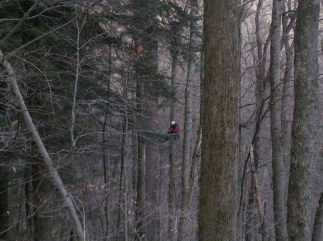 Climbing the Thoreau Pine