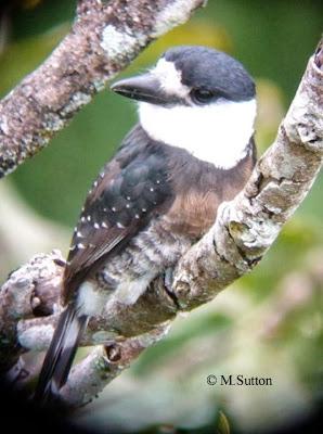 Brown banded Puffbird