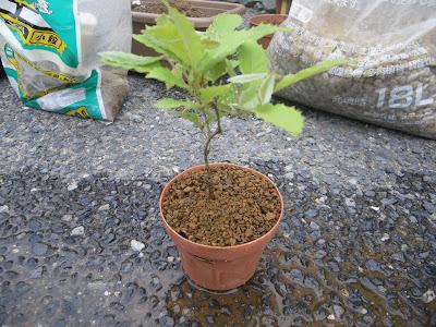 コナラ 鉢植え