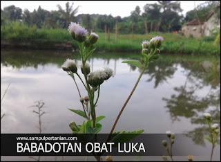 Babadotan (Ageratum conyzoides L) obat untuk luka