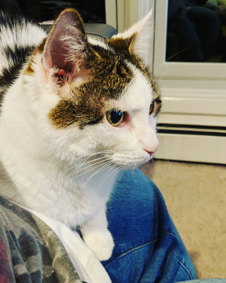 image of Olivia the White Farm Cat sitting on my lap, but looking at something off-camera with wide eyes