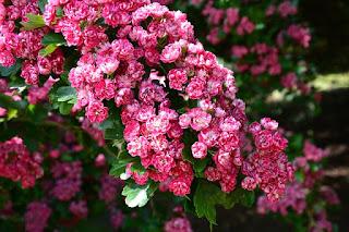 Filosofi Bunga Sakura