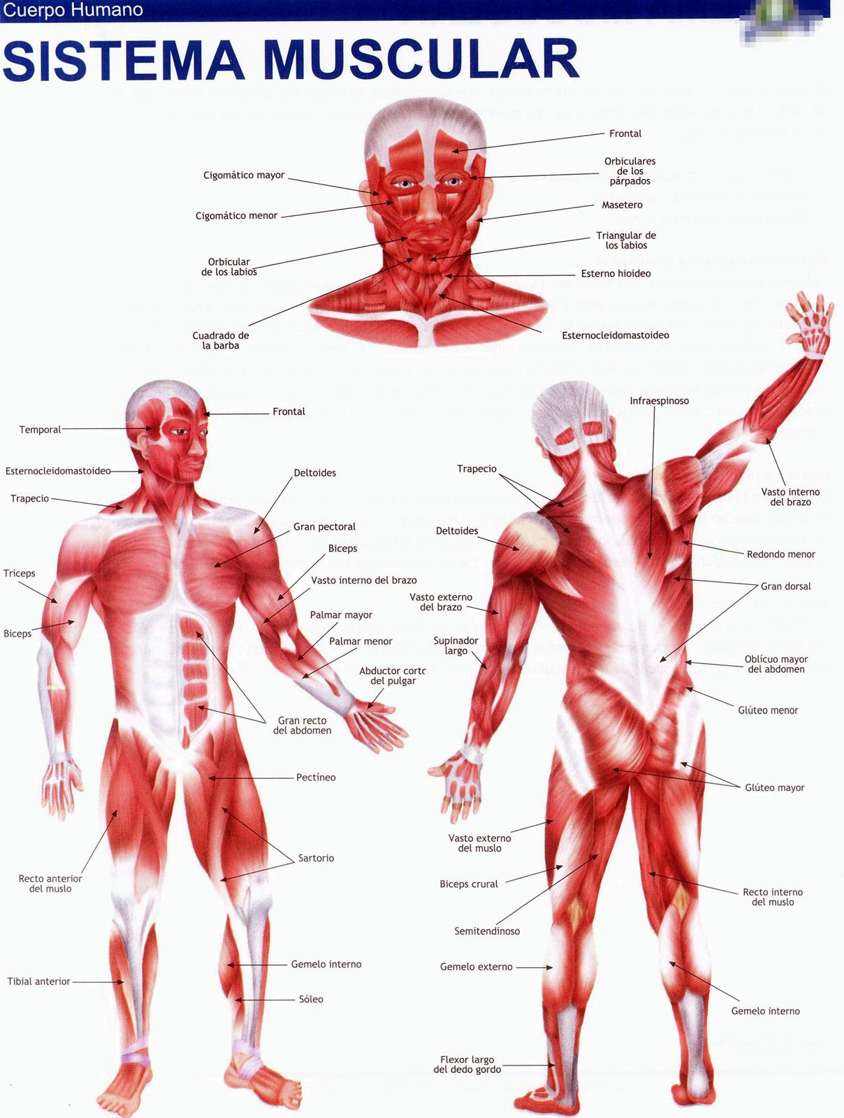 lamina sistema muscular