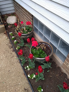 red tulips and geraniums in pots