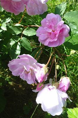 Pink rose near patio