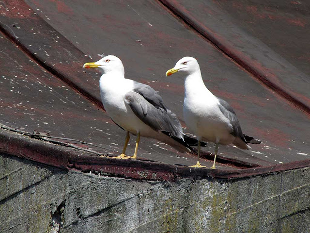 Seagulls, roof of the Fish Market, Livorno