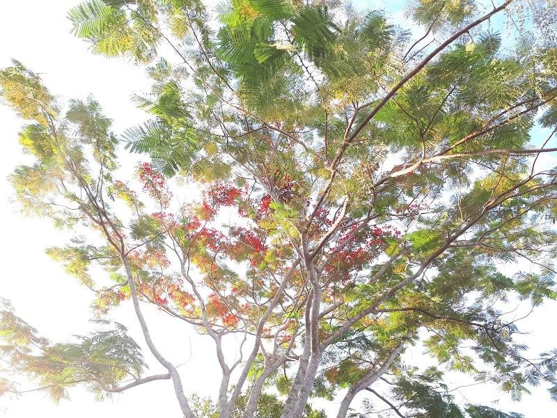 Pokok Semarak Api