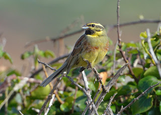 Cirl Bunting by Tom Wallis