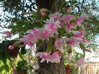 Apresentando flores cor de rosa, brancas, laranjas e vermelhas, as flores-de-maio se abrem nas noites de Outono. A planta possui caule formado por vários gomos artículos que podem ser destacados para formar novas plantas. Seu ciclo de vida é perene(permanente).