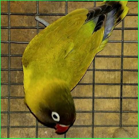 27 macam jenis lovebird dan gambarnya   informasi dunia unggas