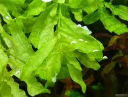 cây bá văn hương xanh thường được trồng hậu cảnh hồ thủy sinh
