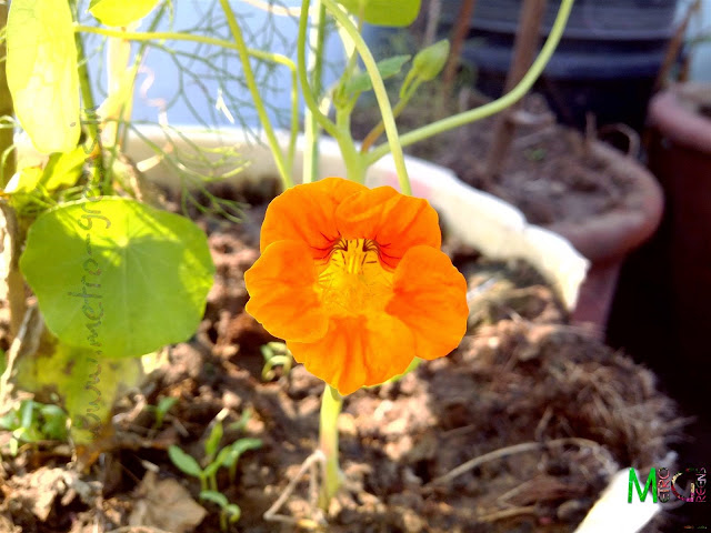 Metro Greens: Orange Nasturtium Bloom