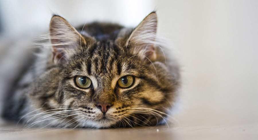 Los Gatos: Protectores del Hogar