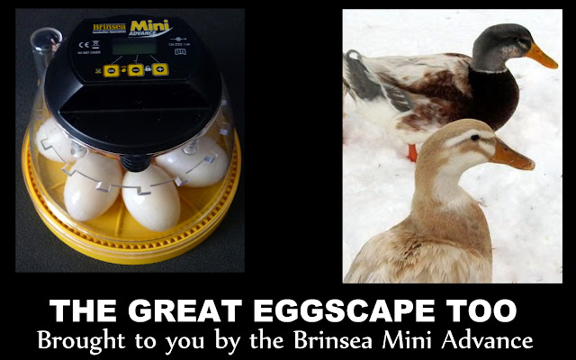 The Great Eggscape Too - Hatching Duck Eggs | Fresh Eggs Daily®