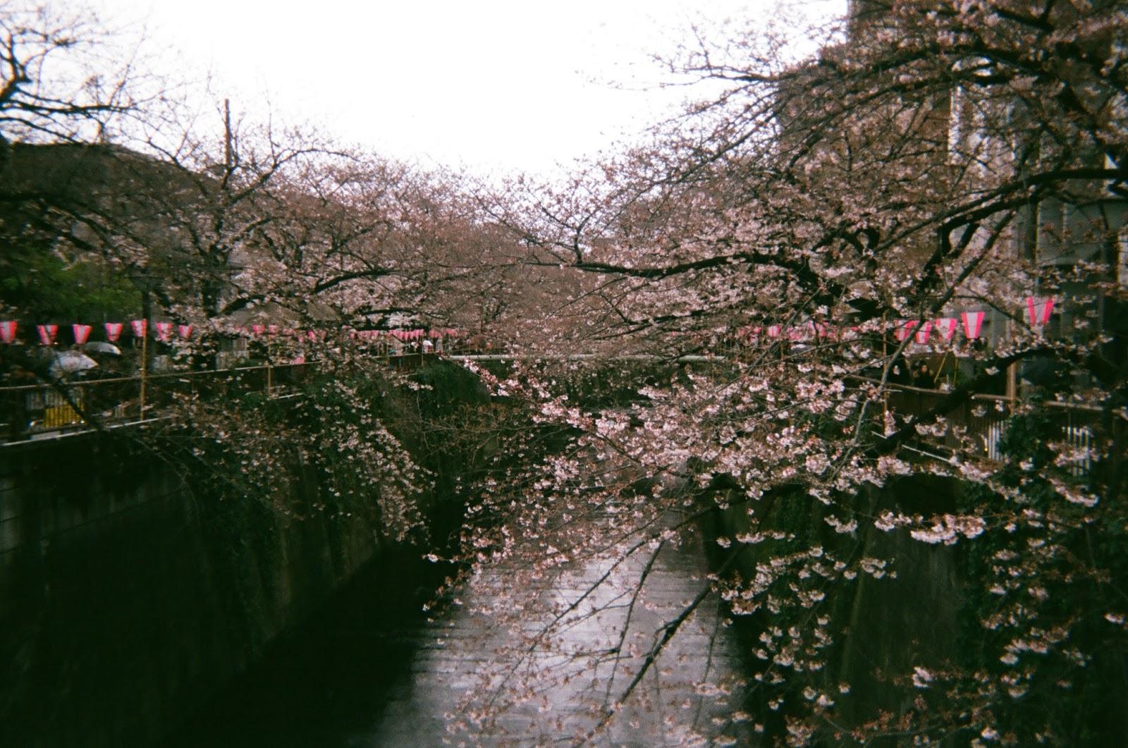 Tokyo in Disposable Camera Meguro River Cherry Blossoms | www.bigdreamerblog.com