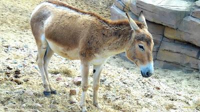Licht bruine ezel in het zand.
