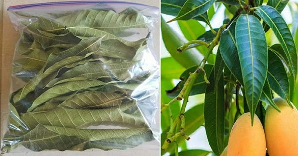 Leaf To Produce Insulin, Cleanse The Kidneys, Remove Uric Acid And Regulate Blood Pressure