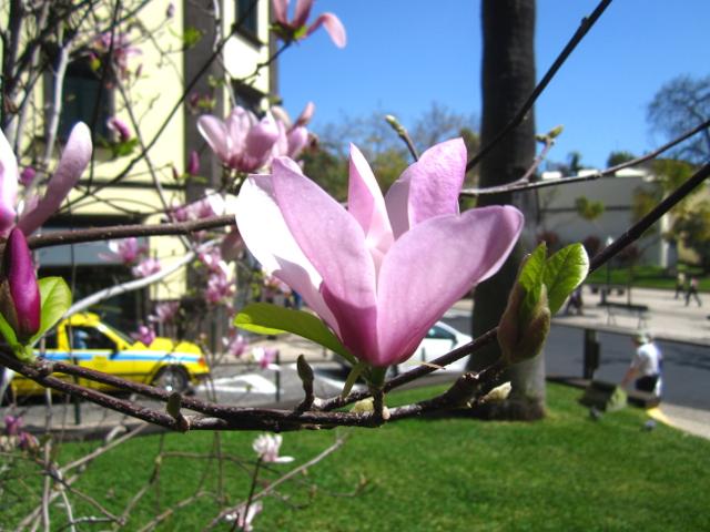 Magnolia Madeira