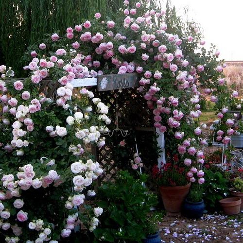 As rosas e o seu simbolismo As roseiras florescem o ano todo, principalmente na Primavera e Verão. As rosas possuem mais de 100 espécies, e milhares de variedades, as roseiras podem ser híbridos ou cultivares, arbustos ou trepadeiras. As folhas são simples, partidas em 5 ou 7 lóbulos de bordas denteadas.  Cerca viva - rosas vermelhas Rosas amarelas: diz-se que podem significar amor por alguém que está a morrer, ou um amor platônico, ou amizade Rosas Brancas: reverência, segredo, inocência, pureza e paz Rosas champanhe: admiração, simpatia Rosas cor-de-rosa: gratidão, agradecimento, o feminino  Rosas vermelhas: paixão, amor, respeito, adoração Rosas laranjas: entusiasmo e desejo