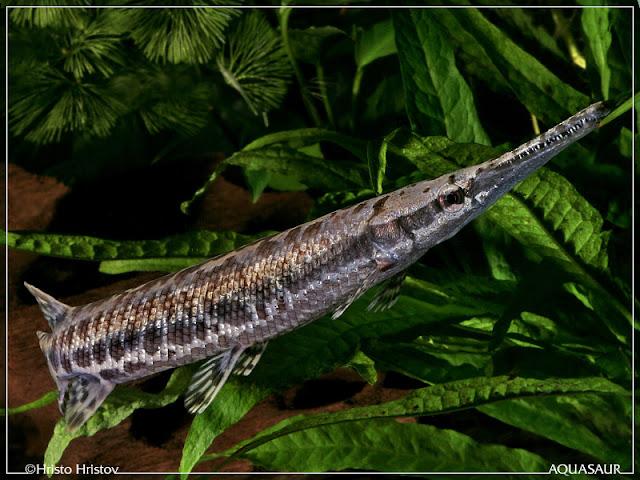 Dunia Ikan Hias - Alligator Gar, Florida Gar