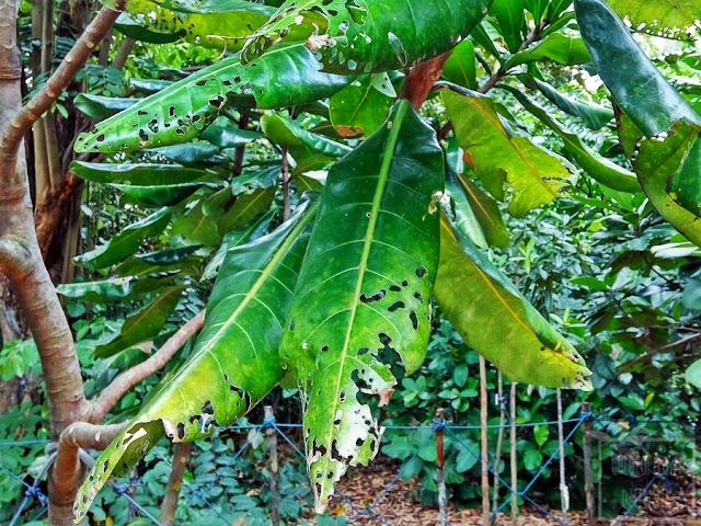 Barringtonia edulis - nietypowe, mało znane tropikalne drzewo owocowe. Ciekawostka botniczna z Oceanii. Egzotyczne owoce.