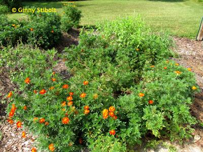 Green Gardening Matters: Nematodes, marigolds, and crop rotation